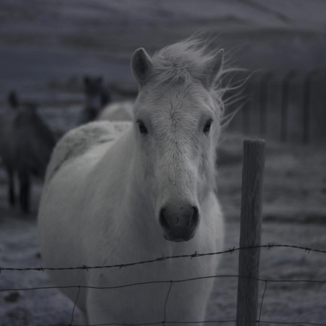 #infrarediceland #48hoursiniceland wildishhorses